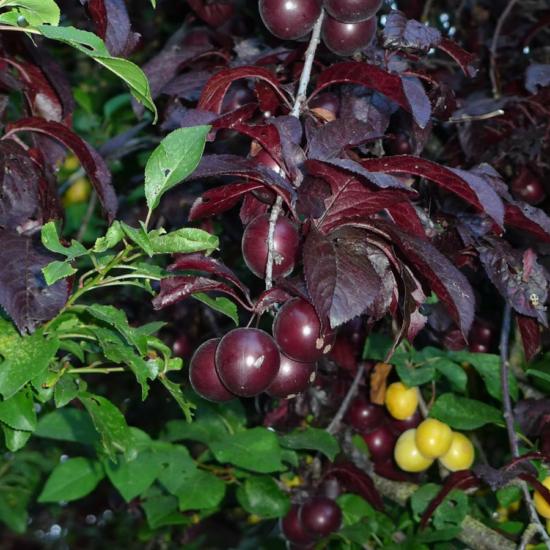wild-cherry-plum-finishing-salt-gourmet-tasmanian